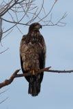Séance non mûre d'aigle chauve sur une branche Photographie stock