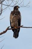 Séance non mûre d'aigle chauve sur une branche Images stock