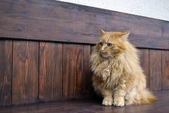 Séance pelucheuse de chat de gingembre Photographie stock libre de droits