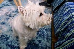 Séance photos de chien à la maison Portrait d'animal familier du chien occidental de Terrier blanc des montagnes appréciant et se photo libre de droits