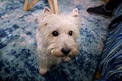 Séance photos de chien à la maison Portrait d'animal familier du chien occidental de Terrier blanc des montagnes appréciant et se image libre de droits