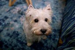 Séance photos de chien à la maison Portrait d'animal familier du chien occidental de Terrier blanc des montagnes appréciant et se photos stock