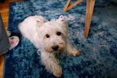 Séance photos de chien à la maison Portrait d'animal familier du chien occidental de Terrier blanc des montagnes se trouvant et s image stock