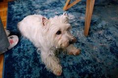 Séance photos de chien à la maison Portrait d'animal familier du chien occidental de Terrier blanc des montagnes se trouvant et s photos stock
