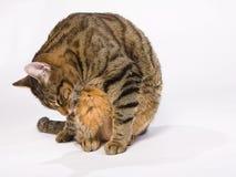 Séance rayée de chat et lèchement pour se laver sur un backg blanc images libres de droits
