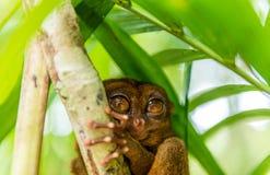 Séance tarsier philippine sur un arbre, Bohol, Philippines Avec l'orientation sélectrice photographie stock libre de droits