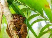 Séance tarsier philippine sur un arbre, Bohol, Philippines Avec l'orientation sélectrice image libre de droits