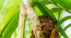 Séance tarsier philippine sur un arbre, Bohol, Philippines Avec l'orientation sélectrice images libres de droits