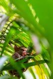 Séance tarsier philippine sur un arbre, Bohol, Philippines Avec l'orientation sélectrice vertical image stock