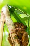 Séance tarsier philippine sur un arbre, Bohol, Philippines Avec l'orientation sélectrice vertical image libre de droits