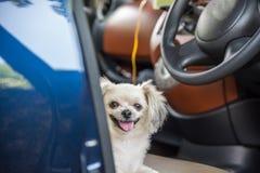 Séance tellement mignonne de chien à l'intérieur d'une attente de voiture le voyage Photos libres de droits