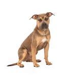 Séance vigilante de chien de race de mélange de bull-terrier du Staffordshire Images libres de droits