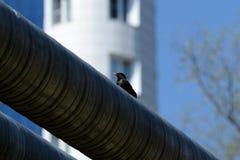 Séance vulgaris de Sturnus d'étourneau commun sur le tuyau de fer dans la ville un jour ensoleillé image libre de droits