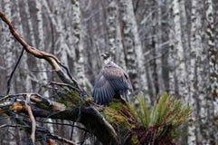 Séchage d'aigle Photographie stock libre de droits