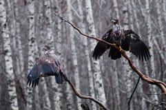 Séchage d'aigle Images libres de droits