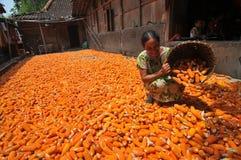 Séchage d'un maïs Photo libre de droits