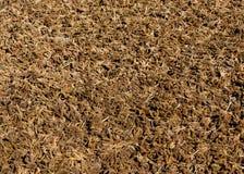 Séchage de millet Photo stock