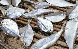 Séchage de poissons frais sur un filet de pêche Photo stock