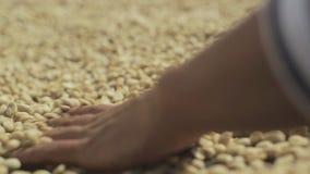 Séchage des grains de café banque de vidéos