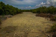 Sécheresse de canal dans la forêt de palétuvier Image libre de droits