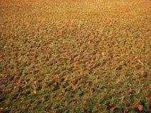 Sécheresse en photo indienne de plantation de riz Photo stock