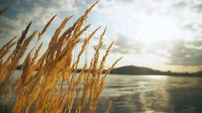 Séchez l'herbe d'or à l'arrière-plan d'un étang au coucher du soleil banque de vidéos