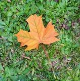 Séchez la feuille colorée sur l'herbe, fond naturel, beauté de jardin Image libre de droits