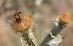 Séchez la tête et l'inflorescence épineuses d'un chardon Images stock