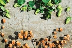 Séchez le houblon en cônes brun et les cônes verts frais de l'houblon sur le béton Photos libres de droits
