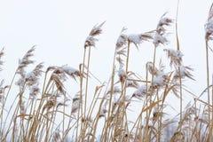 Séchez le roseau côtier s'est recroquevillé avec la neige, fond vertical de nature Hiver dans le pré photographie stock