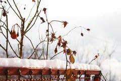 Séchez les bourgeons roses photo stock