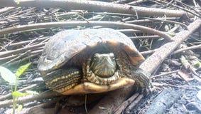 Séchez les brindilles en bois dans l'arrière-cour avec ma tortue Photos libres de droits