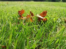 Séchez les feuilles dans l'herbe verte Photos libres de droits