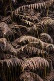 Séchez les feuilles de la fougère Images libres de droits