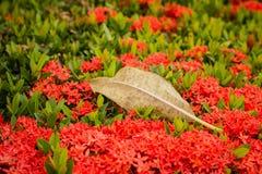 Séchez les feuilles sur une transitoire rouge de fleur images libres de droits