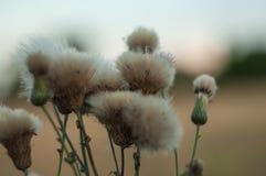 Séchez les fleurs pelucheuses de chardon sur le champ un jour d'été Photos libres de droits