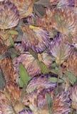 Séchez les fleurs pressées de trèfle Images libres de droits