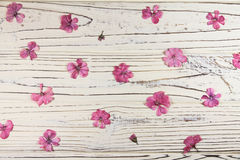 Séchez les fleurs roses de géranium sur un fond blanc Photos stock