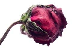 Séchez rose Photos stock