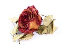Séchez rose Image libre de droits