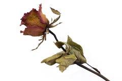 Séchez rose Images stock