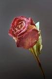 Séchez rose sur le fond noir Image libre de droits