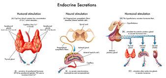 Sécrétions endocriniennes illustration stock