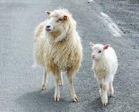 Sécurité d'agneau Photo libre de droits