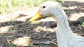 Séjour blanc de canard de Pékin se reposant dans leur habitat - tir principal banque de vidéos