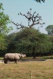 Séjour de rhinocéros blanc à l'herbe, Inde Images stock