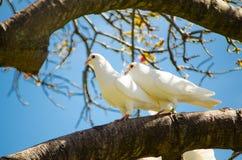 Séjour impérial blanc d'oiseau de pigeon de beaux couples sur l'arbre images stock