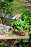 Sélection de la menthe organique fraîche de propre jardin Gardenwork d'été à la ferme photos libres de droits
