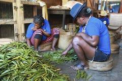 Sélection de vanille au Madagascar Image libre de droits