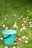 Sélection des pommes mûres dans le seau dans le verger de fruit Photos stock
